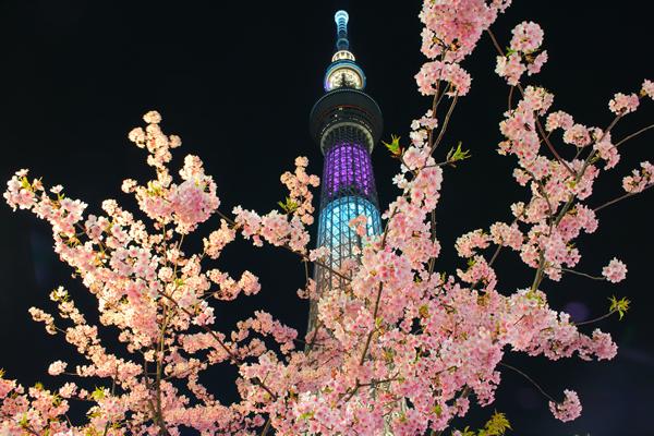 東京スカイツリー×河津桜