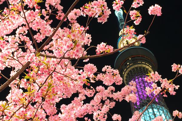 東武橋からの東京スカイツリー×河津桜